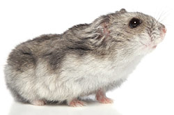 CHINESE HAMSTER (Cricetulus griseus)