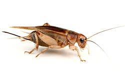 FIELD CRICKET (Gryllus assimilis)