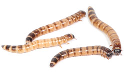 SUPERWORM or ZOPHOBAS (Zophobas morio)