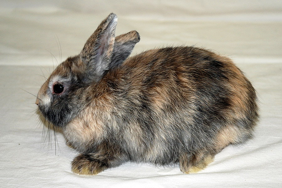 Lapin nain oryctolagus cuniculus f domesticus bat - 4 images 1 mot poussin lapin ...
